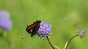 Pequeña concha de la mariposa (urticae de Aglais, urticae del Nymphalis) almacen de metraje de vídeo