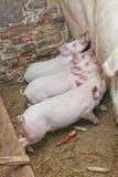 Pequeña consumición de los cerdos Imágenes de archivo libres de regalías