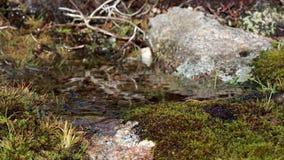 Pequeña corriente de la montaña después de la caída de la lluvia en una cuesta del brezo en los cuarzos ahumados NP durante otoño metrajes