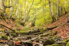 Pequeña corriente en bosque de la haya del otoño Fotografía de archivo libre de regalías