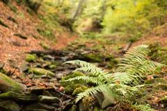 Pequeña corriente en bosque de la haya del otoño Foto de archivo libre de regalías