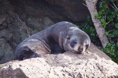 Pequeña cría de foca Imagen de archivo