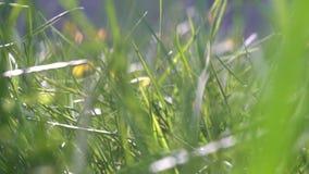 Pequeña criatura animal que corre a través de una hierba que corretea a través del rastro - punto de vista del POV metrajes