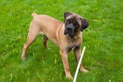 Pequeña edad del perrito cinco meses una raza rara Boerboel surafricano Imagenes de archivo
