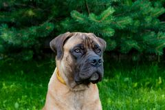 Pequeña edad del perrito cinco meses una raza rara Boerboel surafricano Fotos de archivo libres de regalías
