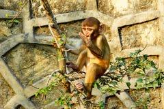 Pequeña ejecución linda del mono en el árbol cerca del te de Swayambhunath Imagenes de archivo