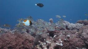 Pequeña escuela de la nadada rayada de la brema del grande-ojo en los arrecifes de coral metrajes