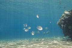 Pequeña escuela de pescados tropicales. Foto de archivo