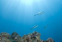 Pequeña escuela del emperorfish del priacántido con sunrays. Fotografía de archivo libre de regalías