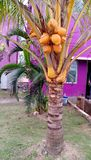 Pequeña especie de árboles de coco foto de archivo libre de regalías