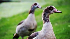 Pequeña familia de patos salvajes Fotos de archivo