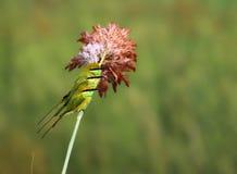 Pequeña familia verde del comedor de abeja Fotografía de archivo libre de regalías