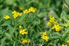 Pequeña flor amarilla Imagen de archivo libre de regalías