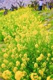 Pequeña flor amarilla debajo de la flor de cerezo, Japón Fotografía de archivo libre de regalías