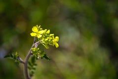 Pequeña flor amarilla espontánea Fotos de archivo