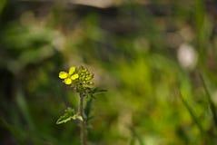Pequeña flor amarilla espontánea Imagen de archivo