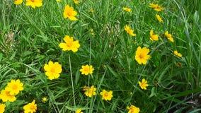 Pequeña flor amarilla que se mueve en el viento almacen de video