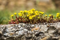 Pequeña flor amarilla salvaje en piedras Imagenes de archivo