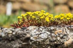 Pequeña flor amarilla salvaje en piedras Fotografía de archivo libre de regalías