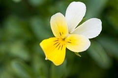 Pequeña flor amarilla y blanca sobre fondo verde Fotografía de archivo
