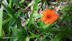 Pequeña flor anaranjada en el fondo de la hierba verde Foto de archivo libre de regalías