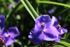 Pequeña flor azul en el jardín Fotografía de archivo libre de regalías