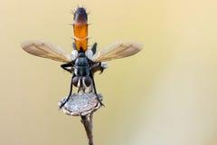 Pequeña flor bicolor de la mosca seca Foto de archivo