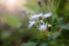Pequeña flor blanca de la hierba en el jardín Foto de archivo
