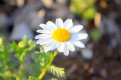 Pequeña flor de la margarita   Foto de archivo