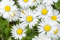 Pequeña flor de la margarita Fotografía de archivo