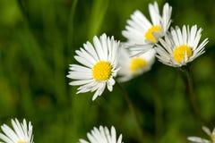 Pequeña flor de la margarita Foto de archivo libre de regalías