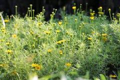 Pequeña flor 33 de la margarita Imágenes de archivo libres de regalías
