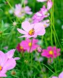 Pequeña flor del cosmos del polen de la abeja Imagenes de archivo