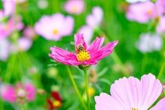 Pequeña flor del cosmos del polen de la abeja Imagen de archivo