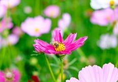 Pequeña flor del cosmos del polen de la abeja Foto de archivo libre de regalías