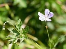 Pequeña flor hermosa en naturaleza Fotos de archivo libres de regalías