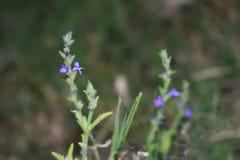 Pequeña flor púrpura imagenes de archivo