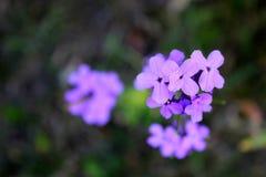 Pequeña flor púrpura Fotos de archivo libres de regalías