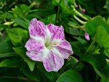 Pequeña flor rosada Fotografía de archivo libre de regalías