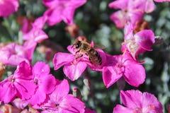 Pequeña flor violeta con el descenso del agua y de la abeja Imagen de archivo