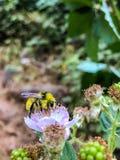Pequeña flor y abeja mullida amarilla Imágenes de archivo libres de regalías