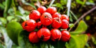 Pequeña fruta de los rojos en el bosque imagen de archivo libre de regalías
