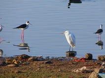 Pequeña garceta y zancos Negro-cons alas en el lago Randarda, Rajkot, Gujarat Imágenes de archivo libres de regalías