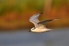Pequeña golondrina de mar Foto de archivo libre de regalías