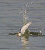 Pequeña golondrina de mar Foto de archivo