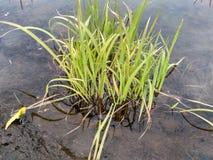 Pequeña hierba verde imagen de archivo
