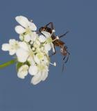 Pequeña hormiga en una flor que mira abajo a usted Fotos de archivo libres de regalías