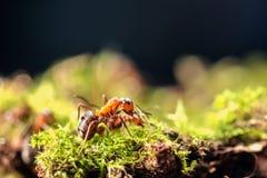 Pequeña hormiga roja Fotos de archivo