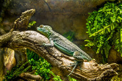 Pequeña iguana verde. Foto de archivo