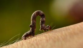 Pequeña larva Imagen de archivo libre de regalías
